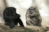Two Chimpanzees at Zoo — Stock Photo