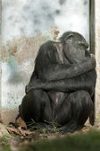 Chimpanzee sleeping near a door — Stok fotoğraf