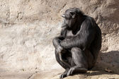 Chimpanzee looking — Stock Photo