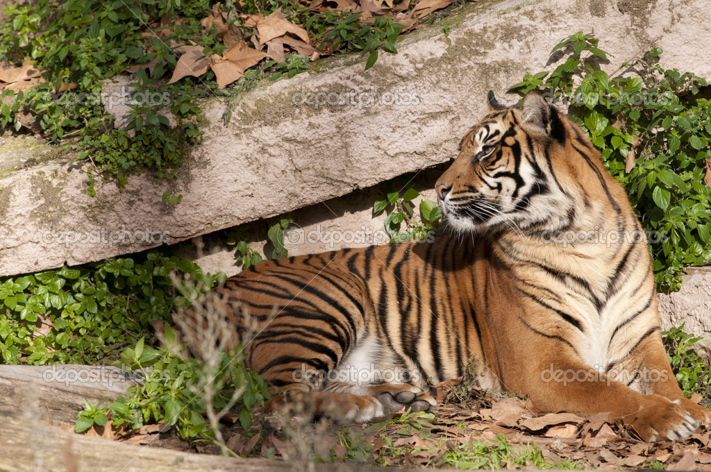 休息在动物园里的老虎