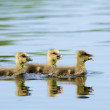 Greylag Goose Goslings — Stock Photo #13933757