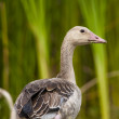 Greylag Goose — Stock Photo #13933792