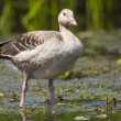 Greylag Goose — Stock Photo #13933827