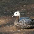 Upland or Magellan Goose — Stock Photo