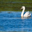 Mute Swan in Danube Delta — Stock Photo
