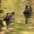 Two Mandarin Duck Drakes — Stock Photo
