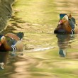 Stock Photo: Two Mandarin Duck Drakes