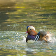 Mandarin Duck Drake — Stock Photo