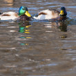 Two Mallard Duck Male on Water — Stock Photo