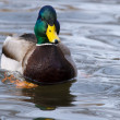 Stock Photo: Mallard Duck (Anas platyrhynchos)