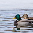 Mallard Duck Pair — Stock Photo #13936569