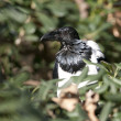 Pied Crow (Corvus albus) — Stock Photo