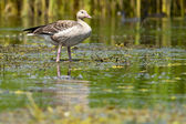Greylag Goose on water — Stock Photo