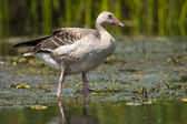 Greylag Goose in Shallow Water — Stock Photo