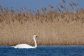 Cisne-branco na água — Fotografia Stock