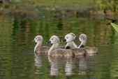 Mute Swan Chicks on water — Stock Photo