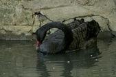Black Swan on Water — Stock Photo