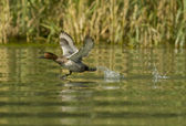 Common Pochard Taking off — Stock Photo