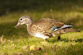 Mandarin Duck female — 图库照片
