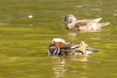 Mandarin Duck Drake — Stock Photo
