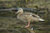 Mallard Duck on water — Stock Photo