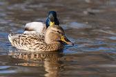 Mallard Duck pair on water — Stock Photo
