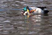 Mallard Duck Male scratching on Water — ストック写真