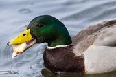 绿头野鸭鸭肖像 — 图库照片