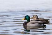 Mallard Duck Pair — Stock Photo