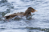 Mallard Ducks, female, — Stock Photo