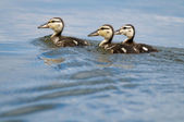 Ducklings on water — Stock Photo