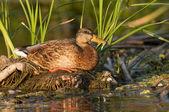 Mallard Duck resting — Stock Photo