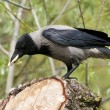 Stock Photo: Hooded crow
