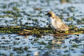 Whiskered Tern (Chlidonias hybrida) — Foto Stock