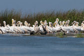 White Pelicans Colony — Foto Stock