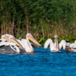 White Pelican in Danube Delta - Stock Photo