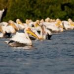 White Pelican in Danube Delta — Stock Photo