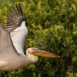 White Pelican in Danube Delta — Stock Photo #13978344