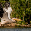White Pelican in Danube Delta — Stock Photo #13978348