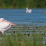 White Pelican in Danube Delta — Stock Photo #13978568