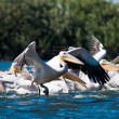 White Pelican in Danube Delta - Foto Stock