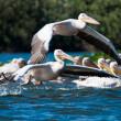 White Pelican in Danube Delta — Stock Photo #13978999