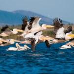 White Pelican in Danube Delta — Stock Photo #13979121