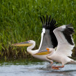 White Pelican in Danube Delta — Stock Photo
