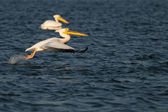 White Pelican Taking off — Stock Photo