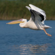 White Pelican (Pelecanus onocrotalus) — Stock Photo