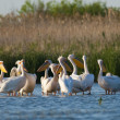 White Pelican in Danube Delta — Stock Photo #13981788