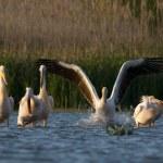 White Pelican in Danube Delta — Stock Photo #13981805