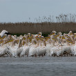 Stock Photo: White Pelicin Danube Delta