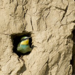 EuropeBee Eater — Stock Photo #13988855